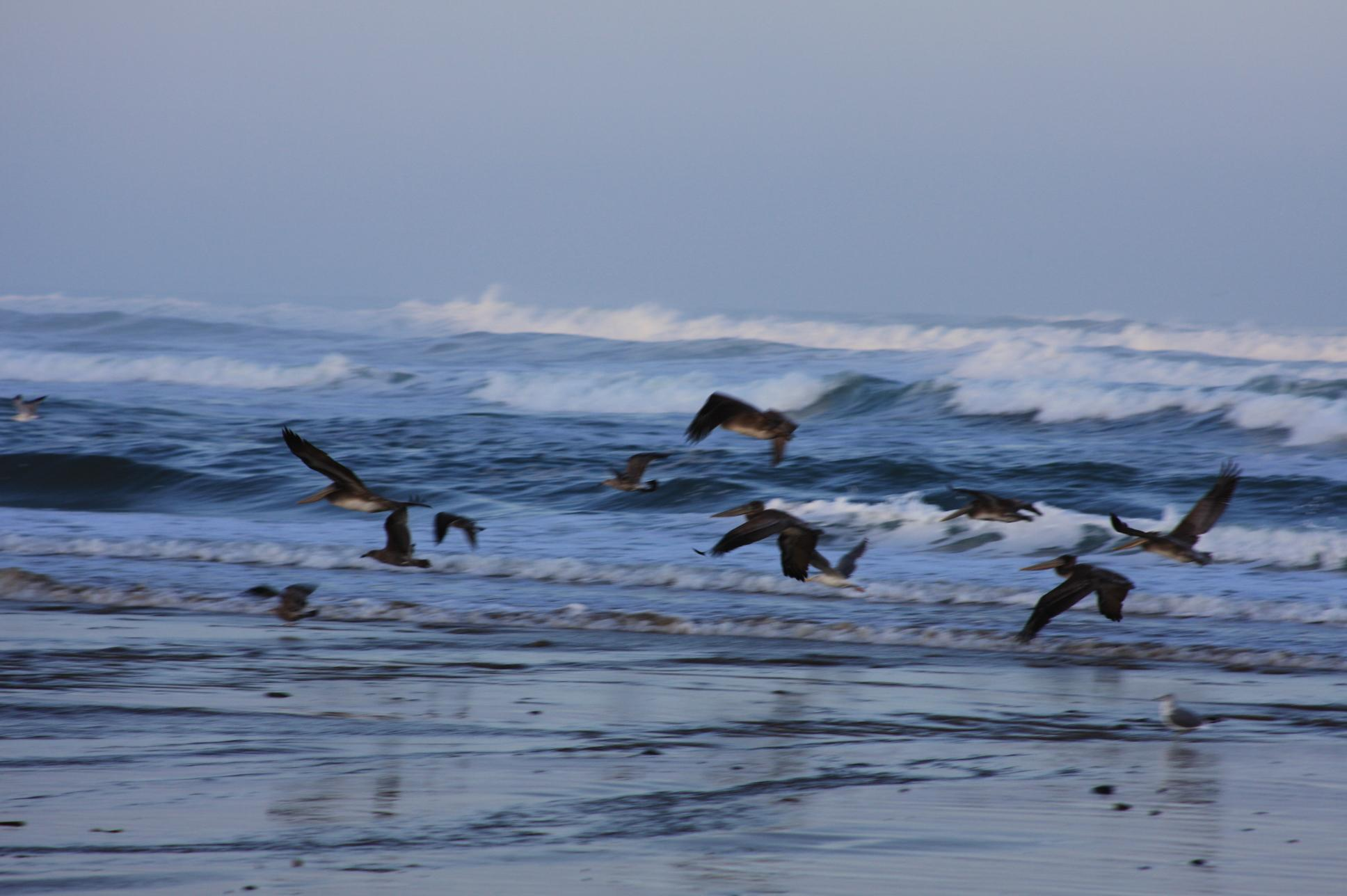 Pelicans on the prowl