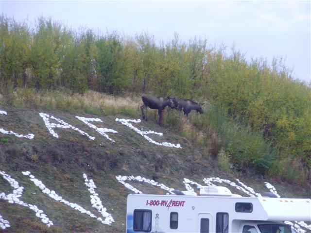 Moose checking out the campers