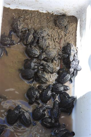Baby turtles ready for sea