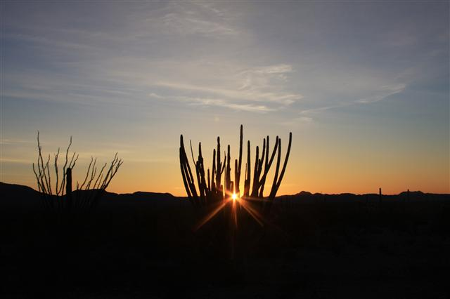 Sunrise through the Organ Pipe cactur